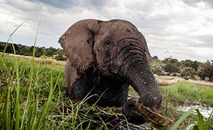 早安·世界|非洲国家公园90头大象遭大规模猎杀,象牙被砍