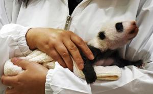 中国旅日大熊猫良浜生下宝宝,日本为幼仔发起全球征名活动