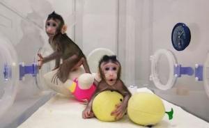 中國腦計劃領軍人物蒲慕明:克隆猴很快樂,年底前有重大成果