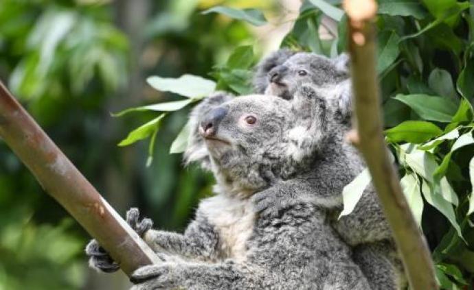 """澳大利亞考拉出現""""功能性滅絕"""":無足夠成年考拉繁衍后代"""