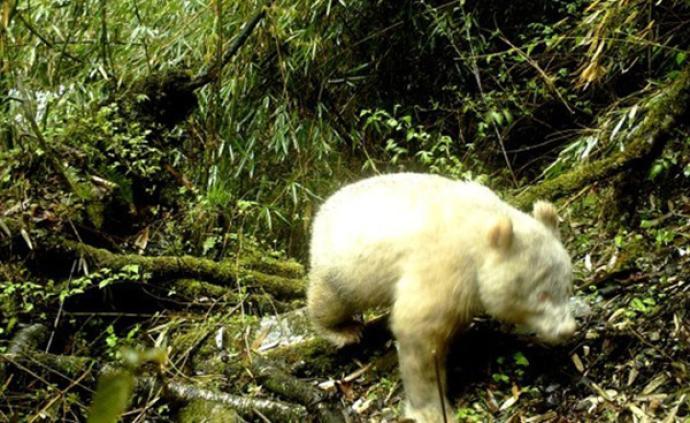 全球首例!四川卧龙拍到全白色大熊猫,初步判断系白化个体