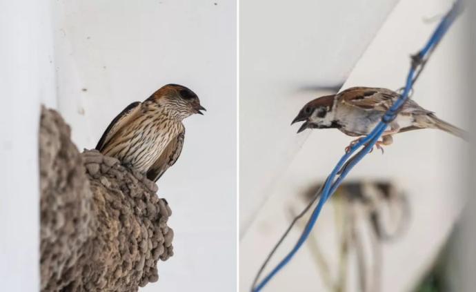 燕子和麻雀吵起来了,根本拦不住