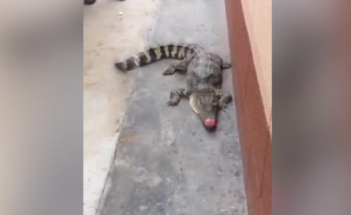 小区现鳄鱼,市民踢了两脚才发现是真的