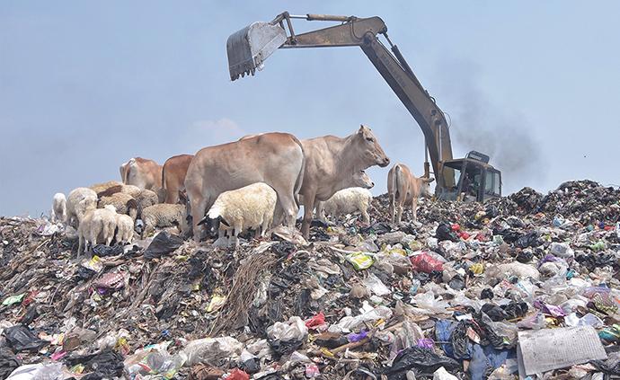 早安·世界|触目惊心!印尼奶牛在垃圾场觅食