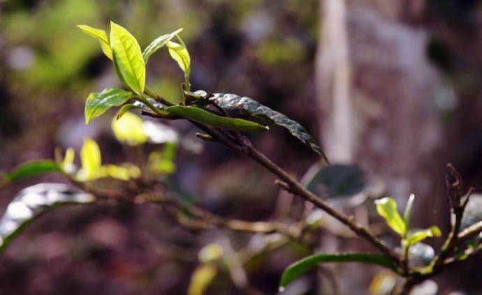 布朗山田野笔记|古树新芽:以茶为生的曼捌人
