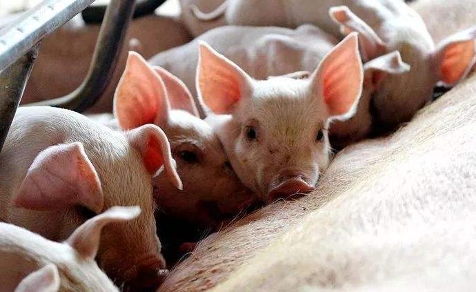 農業農村部:我國尚無批準上市的非洲豬瘟商品化疫苗