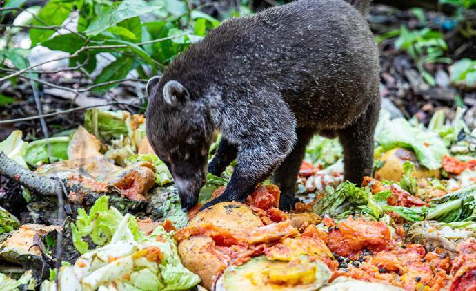 早安·世界|栖息地被人类入侵,南美浣熊垃圾中觅食