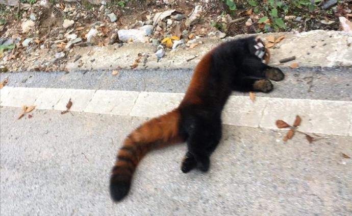 小熊貓被車壓死,四川涼山警方:駕駛員來不及剎車所致