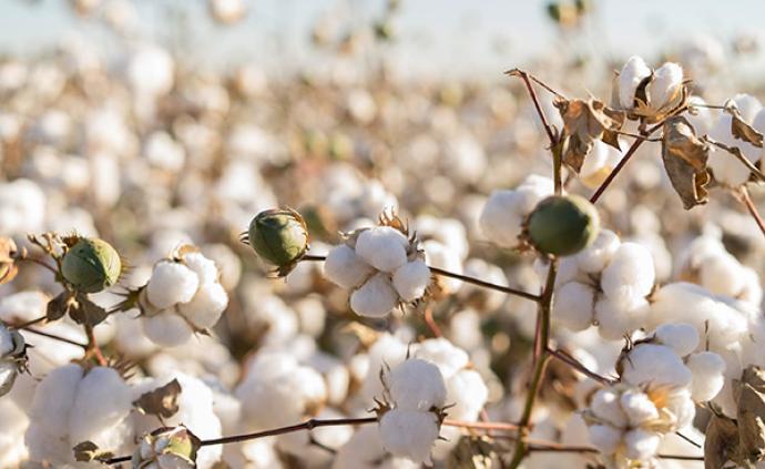 美國農業部:美國轉基因棉花和大豆的應用率為98%和94%