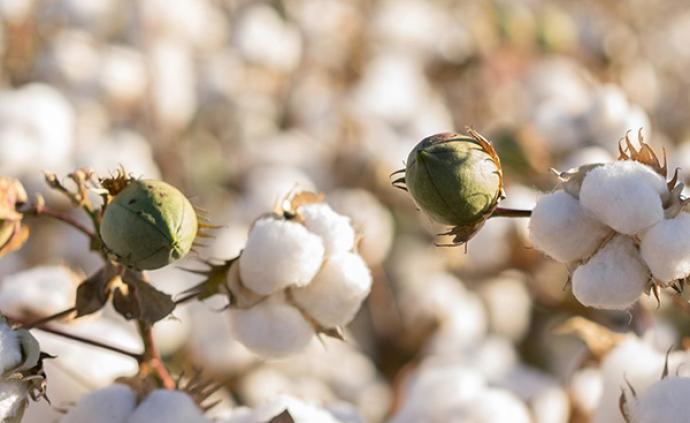 美国批准新型转基因棉花籽用作食品原料,口感与鹰嘴豆类似