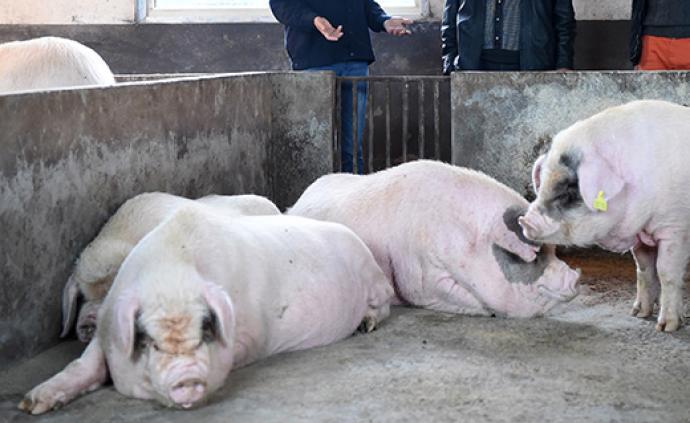 河南生豬存欄量連續兩月回升:養殖場戶補欄積極性不斷提高
