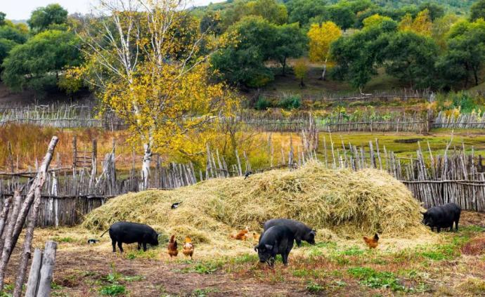 """生豬減少1.2億頭,禁養區清理不能為豬肉漲價""""背鍋"""""""