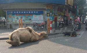 多地频发乞丐带骆驼乞讨,城管等部门称无执法依据只能劝阻