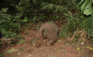 亚洲象遭砍头取牙,西双版纳警方发现军用弹头悬赏4万元追凶
