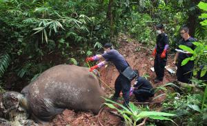 谁在灭亡亚洲象:西双版纳7年14象丧命,多被军用枪支射杀