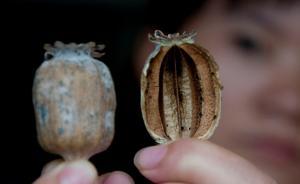 罂粟壳270元一斤包邮,新华社质问6年明令禁止为何管不住