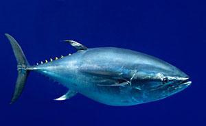 人类吃寿司吃太多,太平洋蓝鳍金枪鱼快灭绝了!