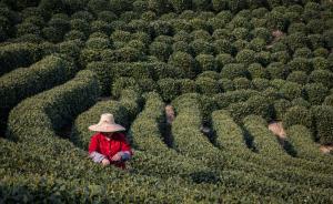 全国最大茶企顶级龙井品牌之争落败,西湖龙井分级有点复杂