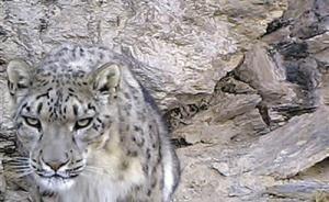 中科院证实天山雪豹种群恢复,全球仅4100—7350只