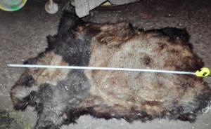 一枪没打死又补一枪,云南两兄弟猎杀大熊猫被批捕
