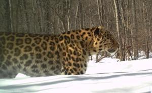 黑龙江保护区拍到3只东北豹高清照片,全球仅存约50只