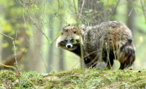上海一小区成野生动物乐园,数十只貉夜间闲逛狐狸锦鸡都来了