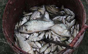 淮安金湖43万斤鱼突然死亡,缺氧还是污染?