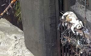 汶川震后第三只野生大熊猫溺亡,因食物短缺?
