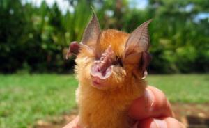 菊头蝠身上发现SARS样冠状病毒,可传播至人类暂无药可治