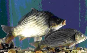 美国首准转基因三文鱼上市:称营养和安全无虞,中国是老师