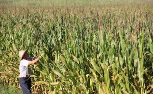 中国拟5年内调减玉米种植面积5000万亩