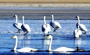 摄影师青海湖无人机航拍天鹅引争议:300多只一夜间剩几只