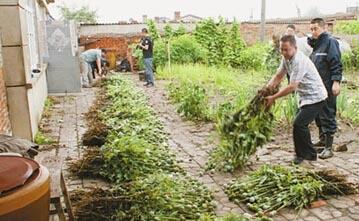 六旬老汉种罂粟4200株被抓,为病母省钱自制鸦片