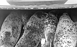 辽宁警方查获5只活斑海豹,系国家一级保护动物