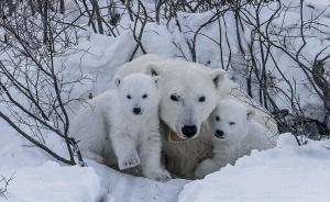 -55℃花费250个小时,摄影师拍摄北极熊母子的日常
