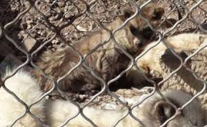 北京怀柔数百只狐狸放生组织者已找到,被责令赔偿村民四千元