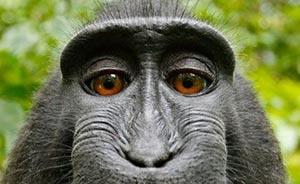 印尼猴子抢英国摄影师相机后自拍,引发版权纠纷