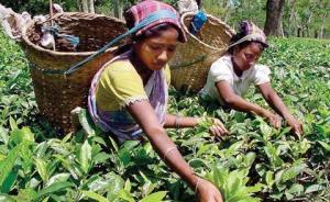 19世纪的茶叶革命:英、俄联手破除中国茶叶垄断