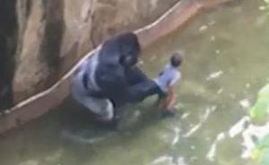 孩子落入围栏致大猩猩被射杀,美警方调查父母是否疏于监护