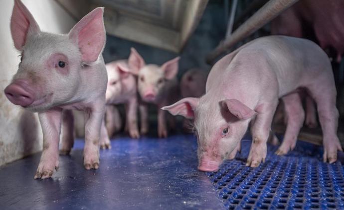 新希望11月商品豬均價31.84元/公斤,環比下降6%