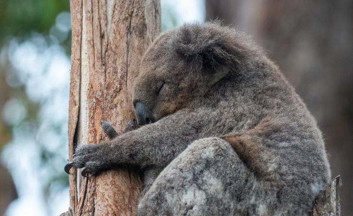 澳大利亚森火或致超2000只考拉被烧死,栖息地损害严重