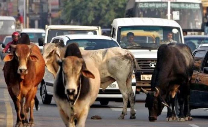 印度发生牛结节性皮肤病疫情,禁止从该国输入牛及其相关产品