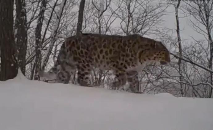 視頻|東北虎豹國家公園實時監測到東北豹野外配對繁殖
