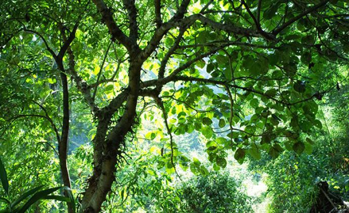 自然散步 |  静寂雨林:最萌阔嘴鸟与红原鸡
