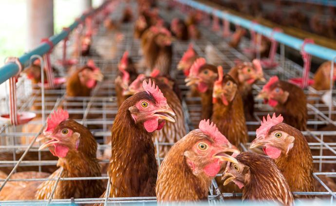 湖北养殖场里上亿只鸡饿不死了,中储粮紧急支援6千余吨豆粕
