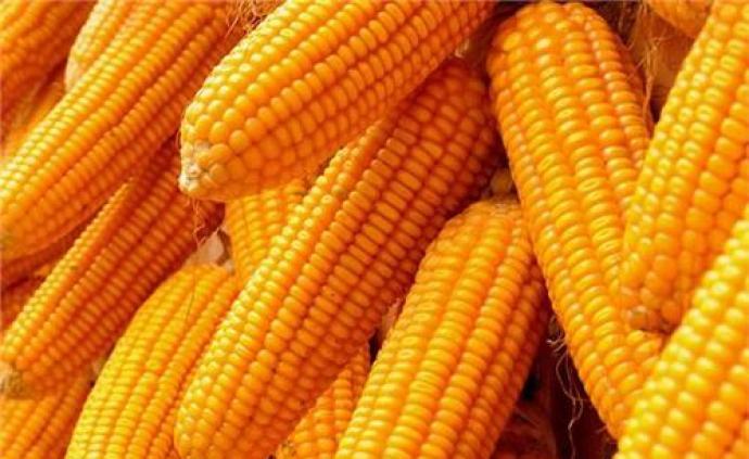 大北農:轉基因玉米品種審批有望加快,可針對草地貪夜蛾