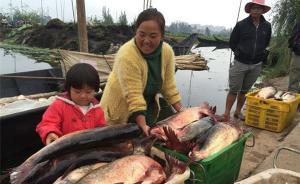 昆明滇池举办为期一个月开渔节,首日捕获大鱼体长超一米