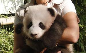 首只在比利时出生的熊猫宝宝取名天宝,寓意上天赐予的宝贝
