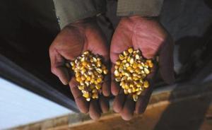 媒体:陕西转基因玉米被铲事件,应成转基因成果转化提速契机