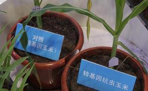 媒体:转基因抗虫玉米可增产量8%至16%,但仍难进市场